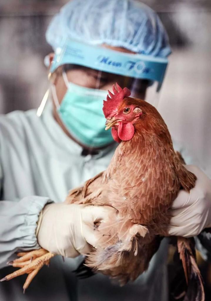 птичьего гриппа картинки для поделиться интересными